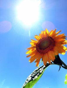 太陽とひまわり