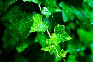 雨にぬれる葉